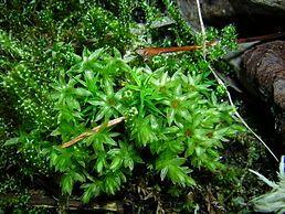 Měřík trnitý (Mnium spinosum) je rostlina z oddělení mechů, z řádu prutníkotvaré. Tvoří sytě zelené až hnědězelené, husté, polštářovité porosty. Podle zprávy Seznam a červený seznam mechorostů České republiky (2005) patří mezi neohrožené taxony,Měřík trnitý dorůstá 40 až 60 mm. Rostliny jsou zelené, dost vysoko plstnané a tvoří husté polštáře.Listy jsou řídké, rovnoměrně rozestavěné, odstálé, trochu zúžené