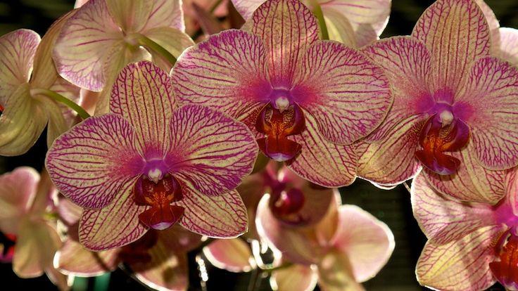 Így fog gyönyörű virágokat hozni az orchídeád!