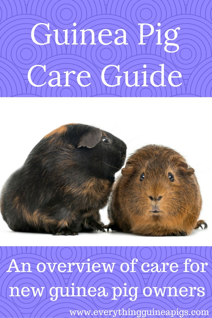 230 best Ginny pig images on Pinterest | Guinea pigs, Pigs and Pig stuff