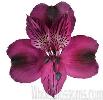 Purple Alstroemeria Flowers