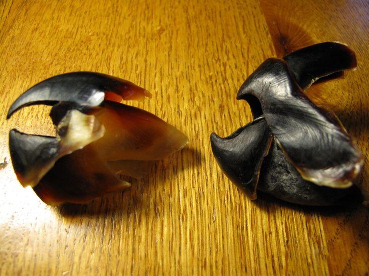 Left: Squid Beak (tearing); Right: Octopus Beak (crushing) octopus-squid-beak.jpg 1,024×768 pixels