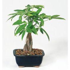 Braided Money Tree Plant Care Tips, Picture - Pachira aquatica
