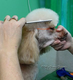 Pet Grooming: The Good, The Bad, & The Furry: Scissoring a Poodle Topknot...