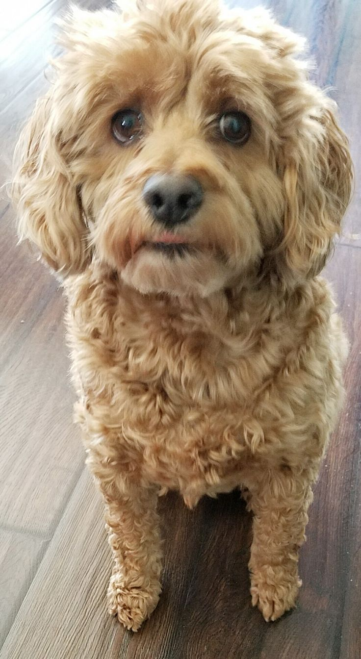 Cockapoo Still Looks Like A Puppy At 9 Years Old This Is -1223