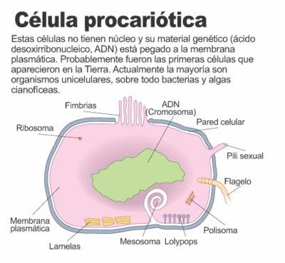 celula eucariota o procariota - Buscar con Google