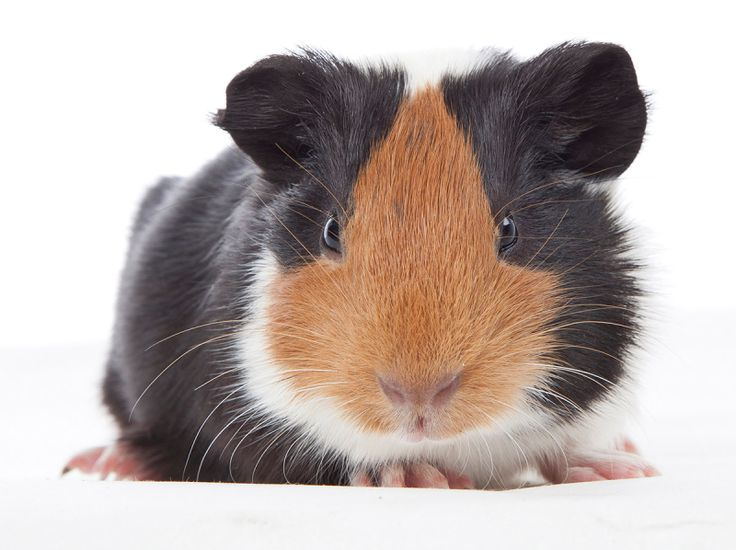 Guinea Pig Diet, Food & Nutrition Guide