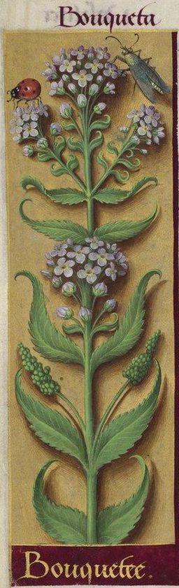"""Bouquetee - Bouqueta"" (Iberis umbellata L. = iberide), Grandes Heures d'Anne de Bretagne, BNF, Ms Latin 9474, 1503-1508, f°236v"