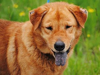 Golden Retriever Chow Chow Mix Dog For Adoption In Anniston