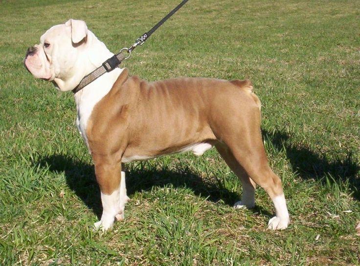 olde english bulldogge puppy pictures | Olde English Bulldogge | Dog Breeds BEAUTIFUL FAWN / WHITE