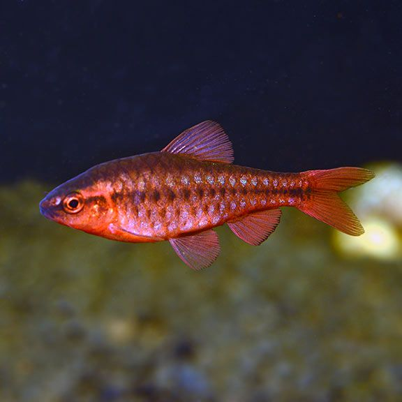 Cherry Barb Tropical Fish For Freshwater Aquariums Fish Tropical Fish Aquarium Tropical Fish