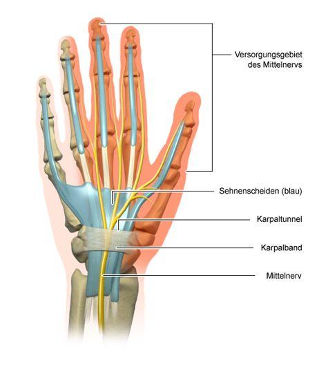 Grafik: Der Karpaltunnel und die Nerven der Hand