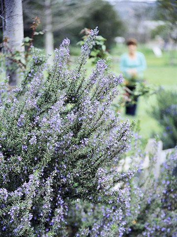 Rosemary Shrub - 5ft. tall!  Official Name: Rosmarinus Officinalis, needs full sun and well-drained soil. Zones 8-10