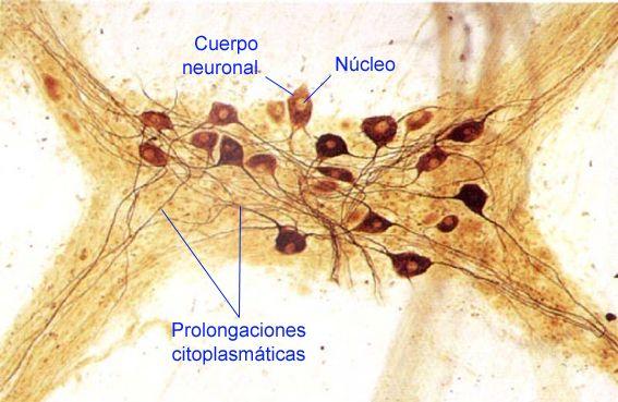 neuronas5.jpg (567×369)