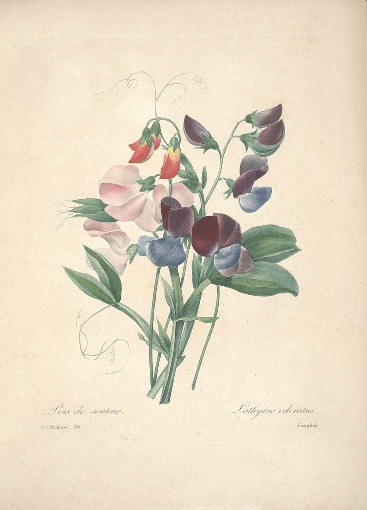 gravures de fleurs par Redoute - Gravures de fleurs par Redoute 054 pois de…
