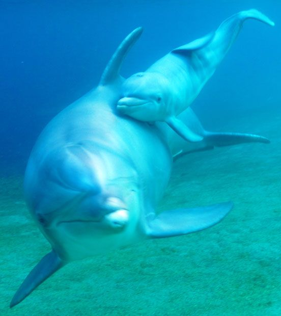 Keo, a 12-year-old dolphin at Dolphin Quest Hawaii, swims with her newborn calf  Picture: Dolphin Quest Hawaii/AP