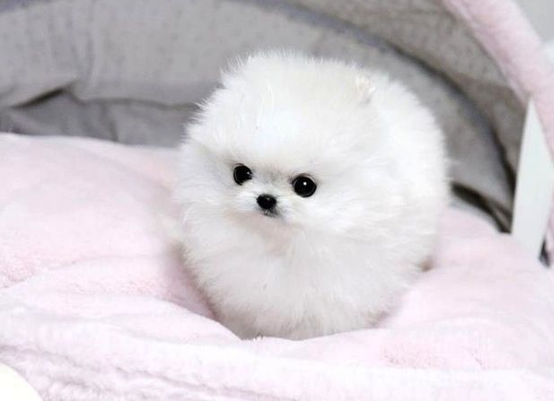 Why mini Pomeranians are the key to world peace.   http://blog.zorpia.com/