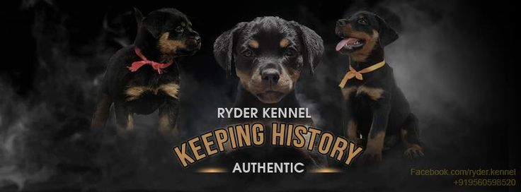 RYDER KENNEL – Keeping History AUTHENTIC India's Leading Rottweiler & Labrador Kennel ™   The Rottweiler is one of the oldest breeds with a rich heritage. Some historians find the Rottweiler to date back to the Roman Empire with bloodlines connecting them to the ancient Roman drover dogs; a mastiff-type dog that was a dependable, rugged dog with great intelligence and guarding instincts.  The Rottweiler is a magnificent breed with un-paralleled power, elegance & loyalty. In the last week of…