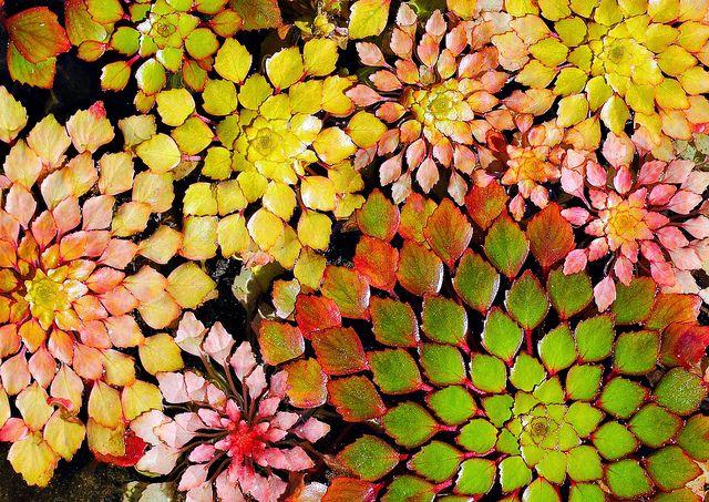 Mosiac floating pond plants