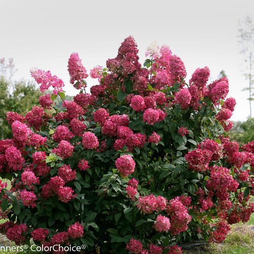 Fire Light® - Hardy Hydrangea - Hydrangea paniculata - White summer flowers turn red in fall. Very hardy. 54-72inches tall and wide