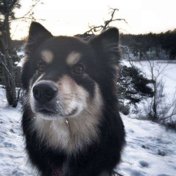 The Finnish Lapphund (Cutest dog breeds you haven't heard of)