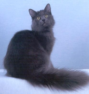 A long, silvery-blue, fluffy cloud of a cat with a glorious plumed tail, the enigmatic Nebelung cat is described by enthusiasts as mysterious and enchanting. With luminescent green eyes and a magical aura, the relatively rare Nebelung has a distinctive long, silky coat that shimmers as well as an endearing personality.  Read more : http://www.ehow.com/how_2341410_identify-nebelung-cat.html