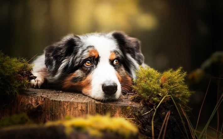 Download wallpapers Aussie, Australian Shepherd, cute animals, dogs, forest