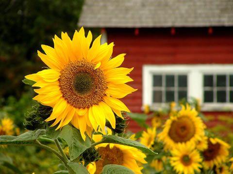 Sunflowers. Love sunflowers :)