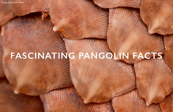 Get to know more about the pangolin, one of Africa's most elusive creatures