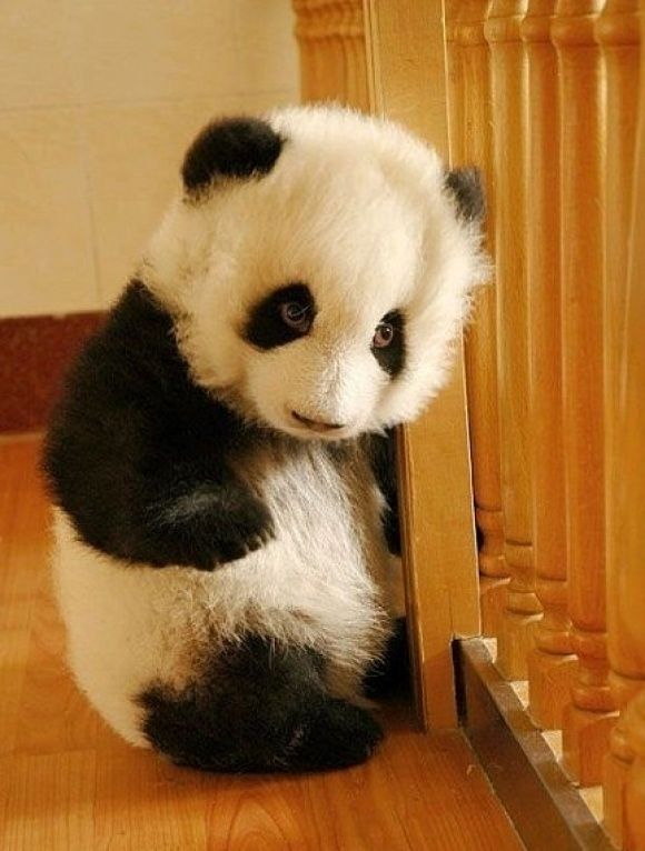 cutie baby panda.  They think they can keep me in here, but, between the two of us.....