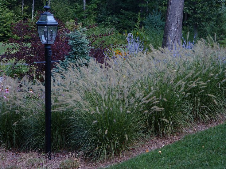 7 best images about ryan on pinterest canada plants and for Blue fountain grass
