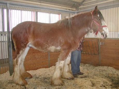 Vous pouvez faire une promenade en chariot tiré par des chevaux autour de la Ferme expérimentale centrale. Nous avons actuellement deux races dans nos écuries, l'imposant Clydesdale et le cheval canadien.