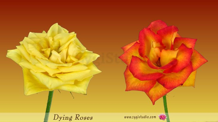 Timelapse of Dying Yellow and Orange Roses.