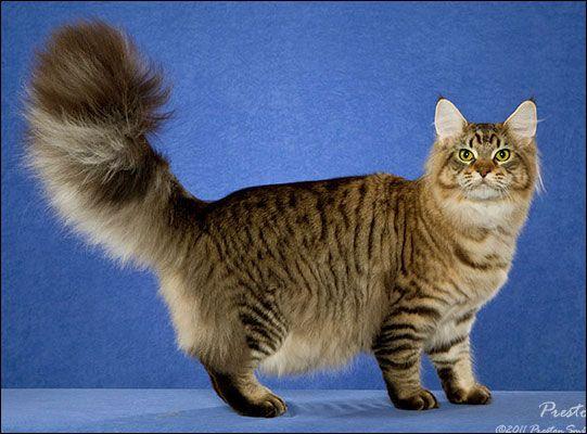 #MaineCoon #Black #Tabby #Mackerel #Cats GC, RW DEWISPLEAR PAYCHECK MAYFAIR