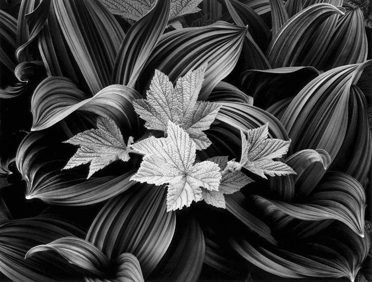 Black And White Photography Lilies