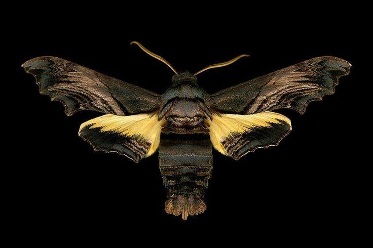 Abbott's Sphinx Moth. Photo Jim de Riviera