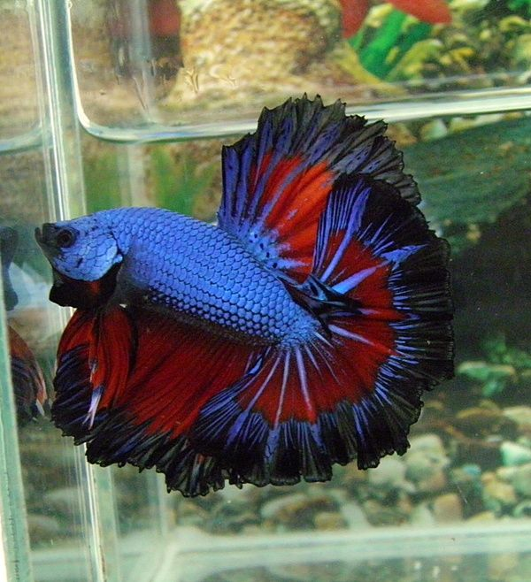 569 best images about aquatic life 03 on pinterest sea for Black betta fish for sale