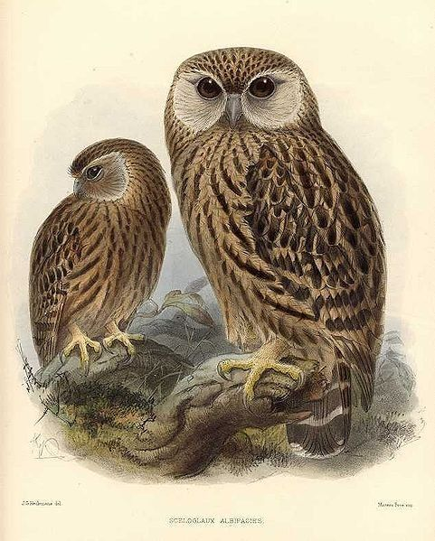 The Laughing Owl (Sceloglaux albifacies), also known as Whēkau or the White-faced Owl, was an endemic owl found in New Zealand, but is now extinct.