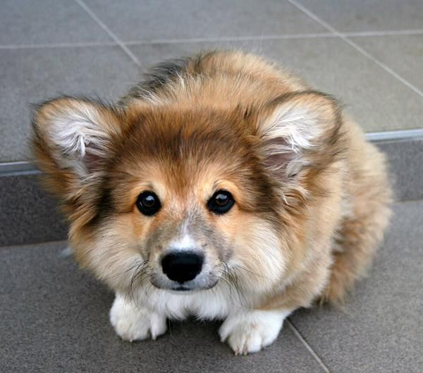 FLUFFY! -- at times I've thought I wouldn't mind a fluffy corgi just because they look so darn cute but with the amount of hair Watson already contributes to the floors I'm not sure I'd like a fluffy.