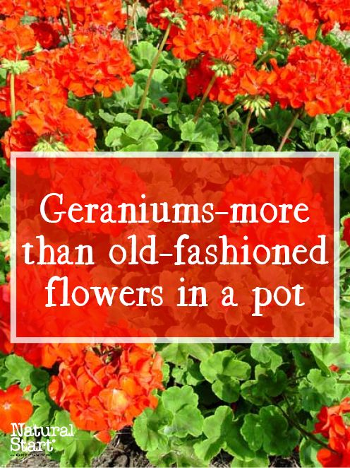 "Learn the difference between the pot classic annual red geranium and ""real"" perennial geraniums."