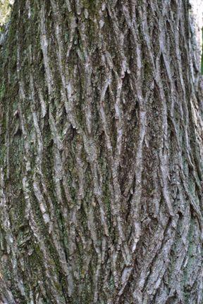 Ulmus Americana American Elm Bark Trees Tree Motifs