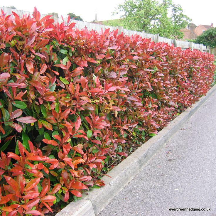 Photinia Red Robin Hedge