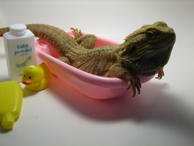 They have excellent hygiene. | 21 Reasons You Need To Start Hanging Out With Bearded Dragons