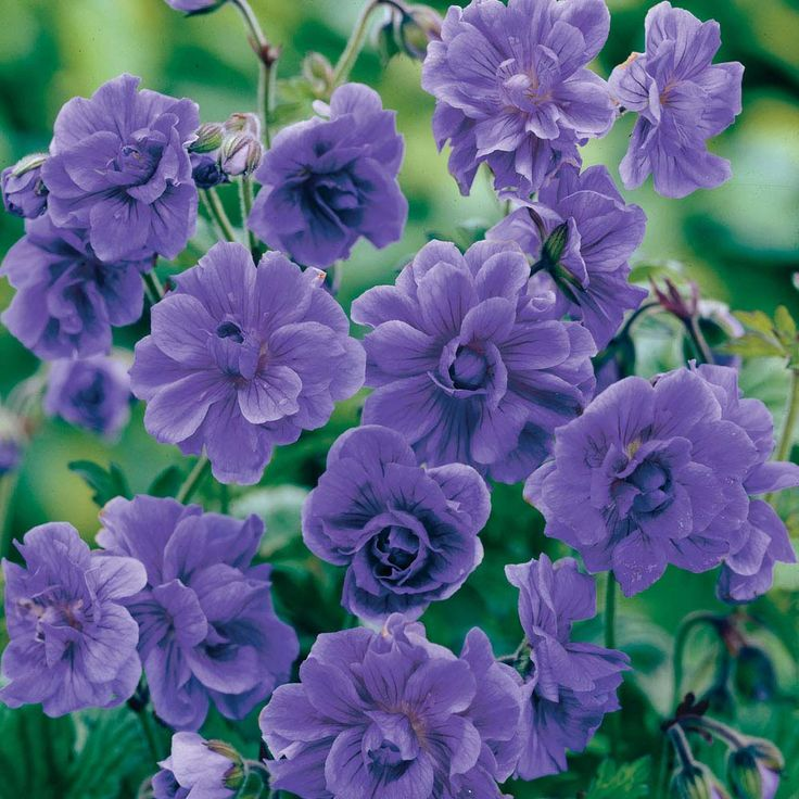 Hardy Geranium himalayense 'Birchs Double' - Double Flowering Hardy Geraniums - The Vernon Geranium Nursery