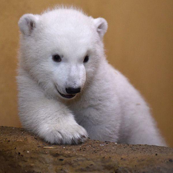 Прелесть белые медведи, медведь, красота, Животные, Германия, длиннопост