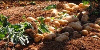 Στα 30 λεπτά η τιμή της πατάτας σε Ηλεία και Μεσσηνία - «Ανάσα» για την Ηλεία η μεγάλη ζήτηση για εξαγωγές