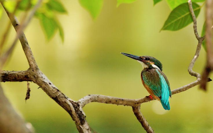 새, 나무, 나뭇 가지, 물총새 배경 화면 - 1920x1200