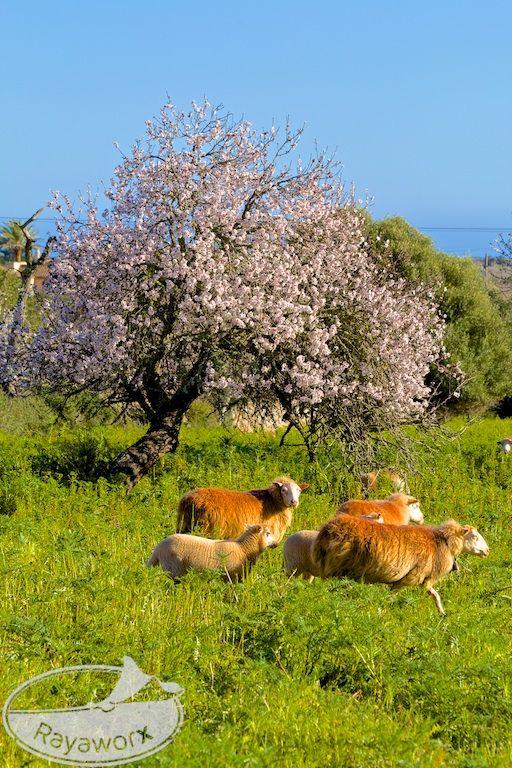 Almond tree with blossoms & sheep :: Mandelblüte & Schafe :: Feb 2015