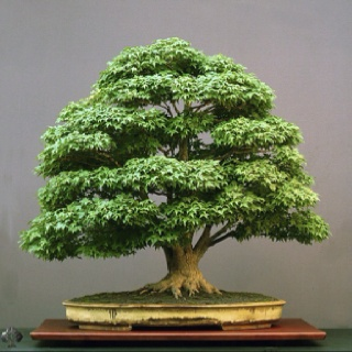 The Bonsai I want to create!: Bonsai Trees, Beautiful Bonsai, Artists Walter, Bonsaitre, Walter Pall, Japan Maple, Bonsai Art, Flowerpot, Acer Palmatum