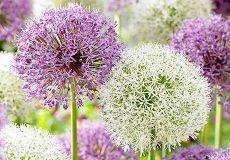 Allium Bulbs For Sale | Buy Bulk Allium Flower Bulbs