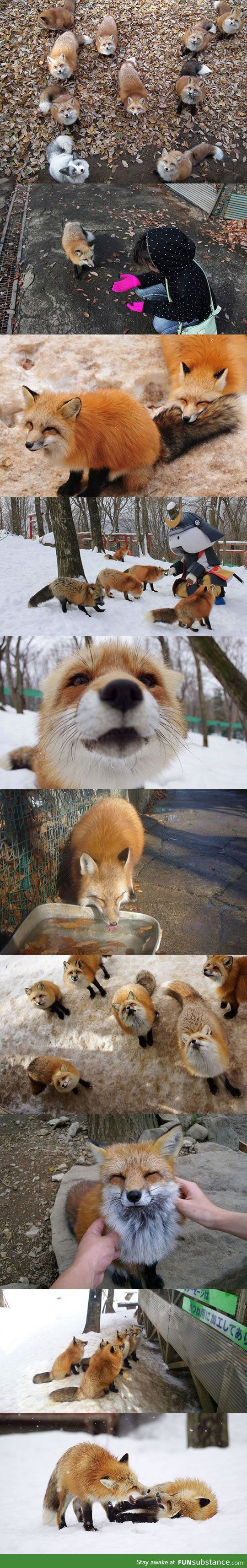 Fox village in japan